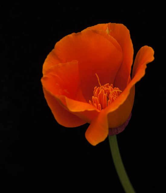 California Poppy in my Butterfly Garden