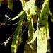 26969_Fettkraut Pinguicula