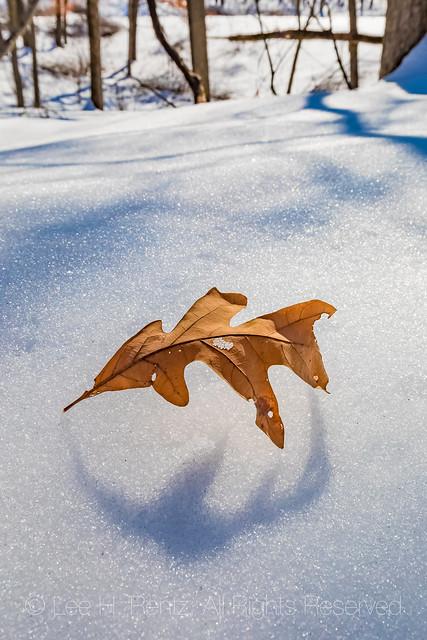 White Oak Leaf on Snow at Bundy Hill