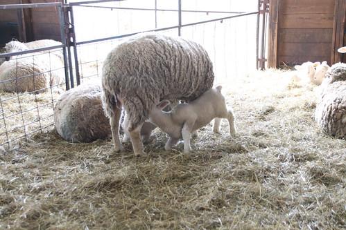 Story_Map_UDCANR_Dorset-Sheep_Webb-Farm