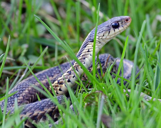 850_9400.jpg=Garter Snake