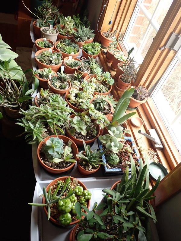 Les succulentes chez Cloo en 2020 - Page 6 49728779287_b83578ea36_c