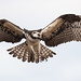 Osprey of the Jersey Shore | 2020 - 9