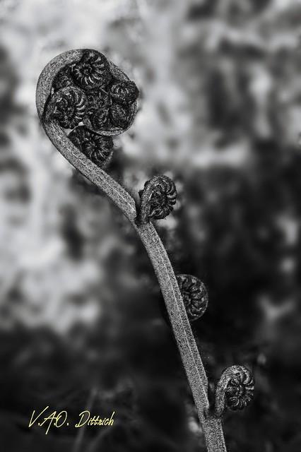 Báculo de Diplazium sp. (Athyriaceae), Serra da Bocaina, Bananal, SP, Brasil