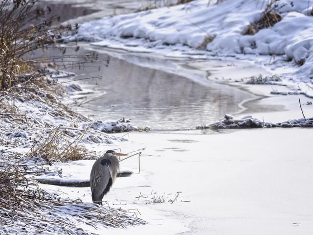 Arctic Penguins 1