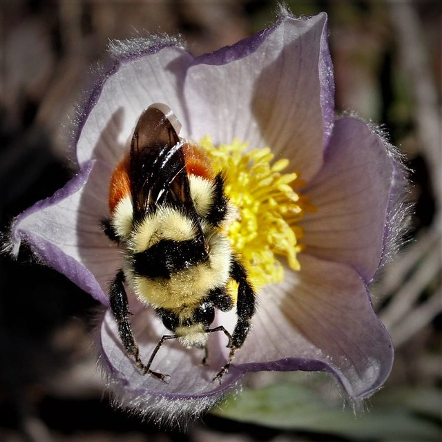 Bombus Huntii Common name Hunt Bumble Bee on Pasque Flower April 15, 2017 on Marvine, CR 12 east of Meeker, Colorado 4
