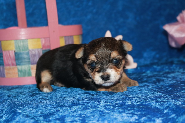 1 Mighty Dog CKC Havashire Male 1 Lb 5.5 oz 3 Weeks (24)