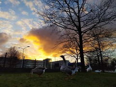 #geese #GeeseOfInstagram #sunset #LowAngle