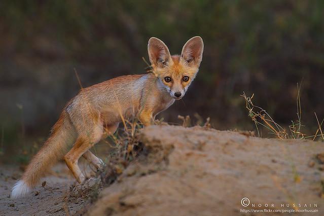 The white-footed fox (Desert Fox)