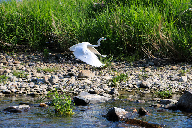 Along the Hozugawa River - Eastern great egret