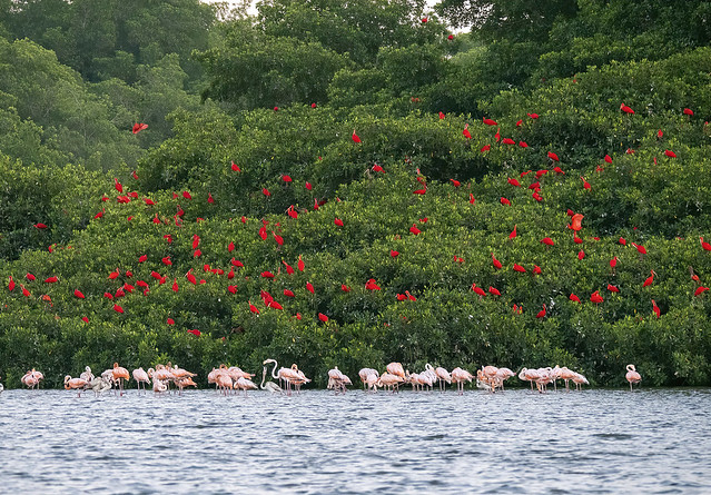 Scarlet ibis and American flamingoes