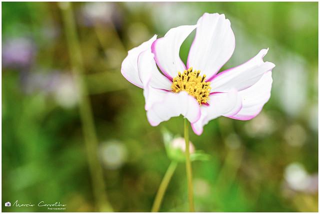 Cosmos - Summer Flower - NZ6_1995