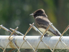Black Phoebe on a Fence
