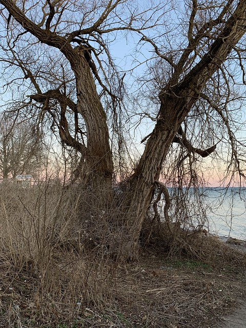 Sunset at Rotary Park , some great old trees near the lake Ontario shore , view from Duffins trail , Martin's photographs , Ajax , Ontario , Canada , April 2. 2020