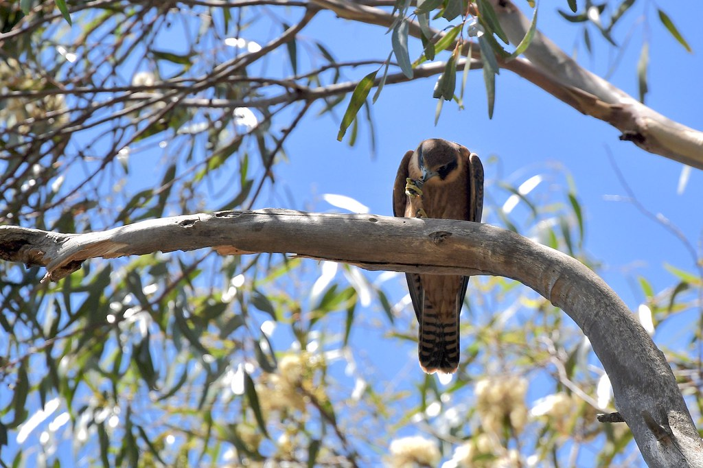 Australian Hobby ( this  is lunch )