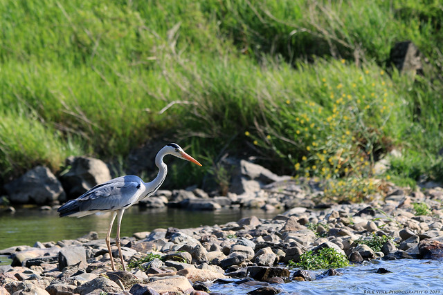 Along the Hozugawa River - Grey Heron