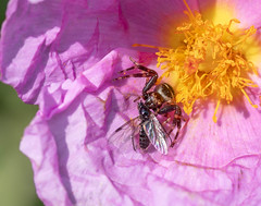 Napoleon Spider - Synema globosum - Nîmes, France
