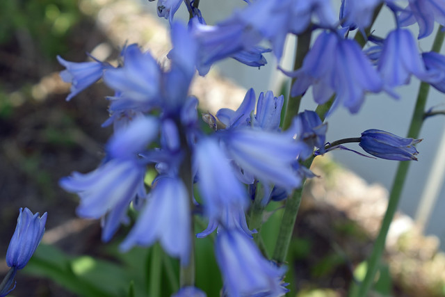 Spanish Blue Bells In Bloom.