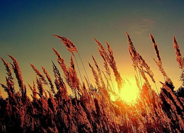 dry grass in light