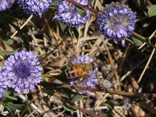 Un'ape al lavoro su una Vedovella cespugliosa (Globularia alypum). Percorso da Cervo alla Cappella di San Bernardo (Imperia). Liguria, Italia.