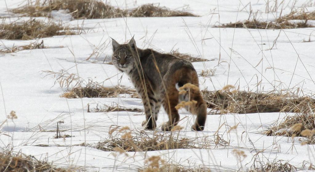 Bobcat_4334