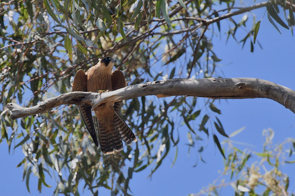 Australian Hobby  ( and ready for a little rest )