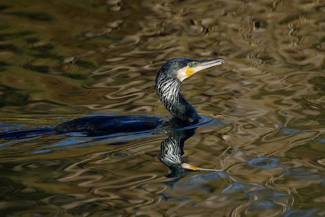 Cormorant in evening light - 4 psychedelic reflections