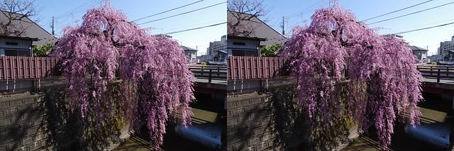 Weeping cherry blossom at Ishibashi-ya, Sendai, stereo parallel view