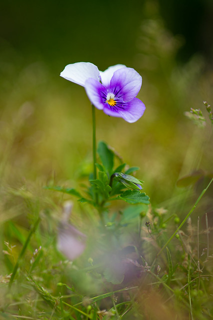 Little pansy in the grass