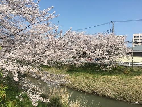 矢那川の桜 2020/04/03