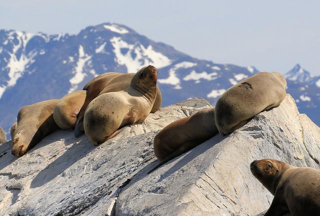 Otarie des Falklands - Ushuaia/Tierra del Fuego/Argentina_20171203_020-1