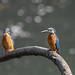 Kingfisher -202004030339.jpg