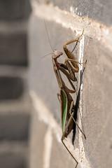 Chinese Mantis - Tenodera sinensis - Great Wall of China