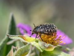 White-spotted Rose Beetle - Oxythyrea funesta - Nîmes, France