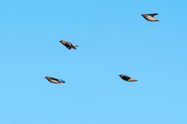 En grupp flygande sidensvansar