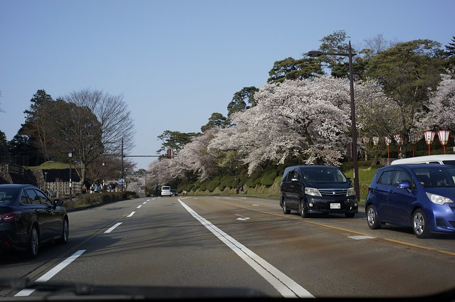 兼六園の桜満開!