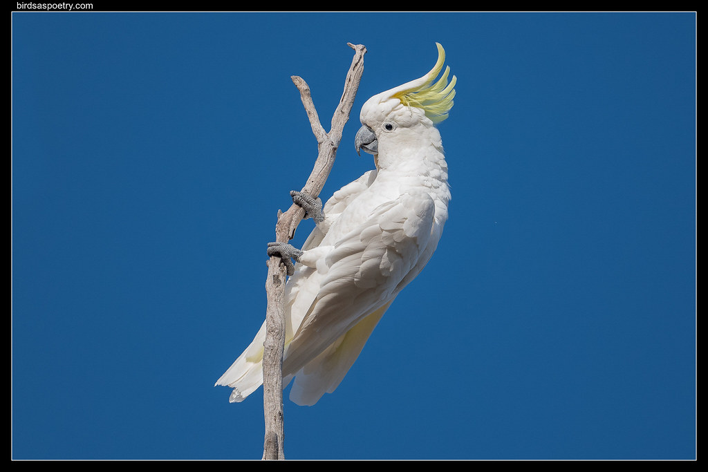 "Sulphur-crested Cockatoo: Does this qualify as ""Exercise""?"