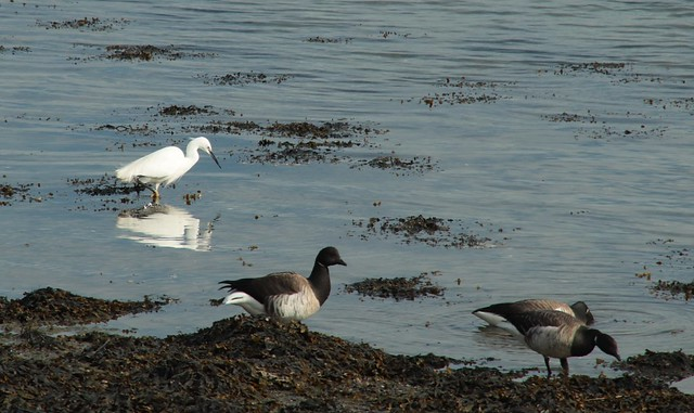 Egret and Brent Geese in Baldoyle Bay