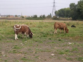 Cows on the Marsh