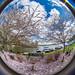 Cherry Trees via Fisheye Lens 3 @ Swift Creek Reservoir - Midlothian, VA, USA