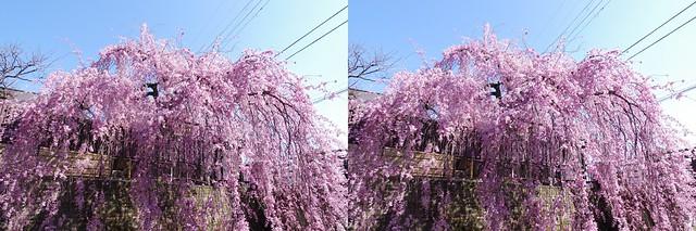 Weeping cherry blossom at Ishibashi-ya, Sendai, stereo cross view