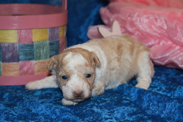 2 Bebop Female CKC Shihpoo 1lb 3oz 3 weeks old  (26)