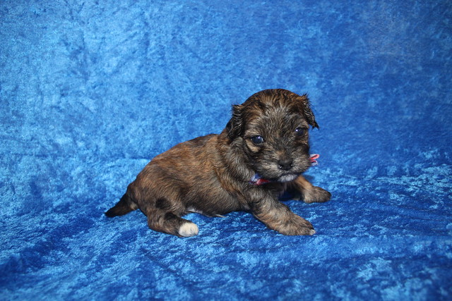1 Rudy Male CKC Havanese 1lb 10.5oz 3W5D old (46)
