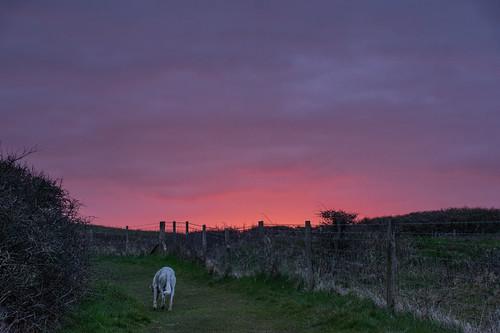 redskyinthemorningshepherdswarning thesayingdidntapplytoday fencefriday fence sunrise dog sky hastingscountrypark
