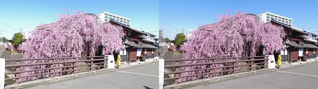 Weeping cherry blossom at Ishibashi-ya, Sendai, 4K UHD, stereo parallel view