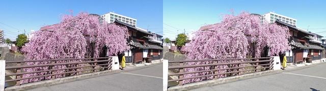Weeping cherry blossom at Ishibashi-ya, Sendai, 4K UHD, stereo cross view