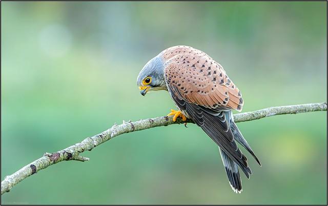Faucon crécerelle / Common Kestrel