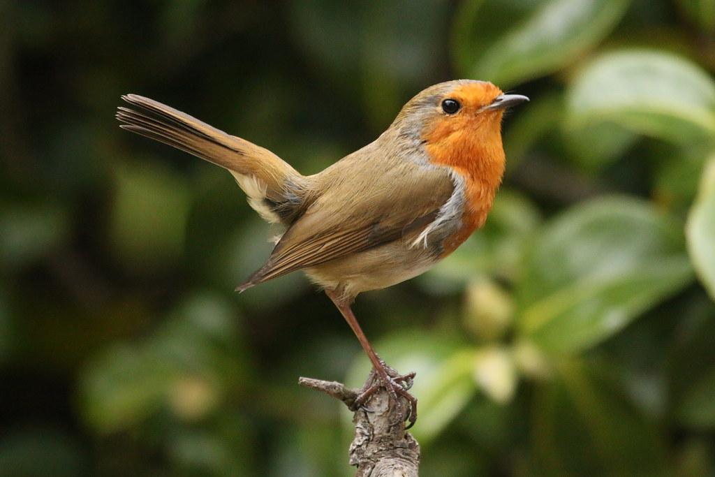 The Robin has returned