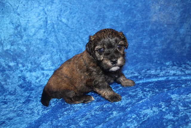 1 Rory Male CKC Havanese 2lbs 3W5D old (54)