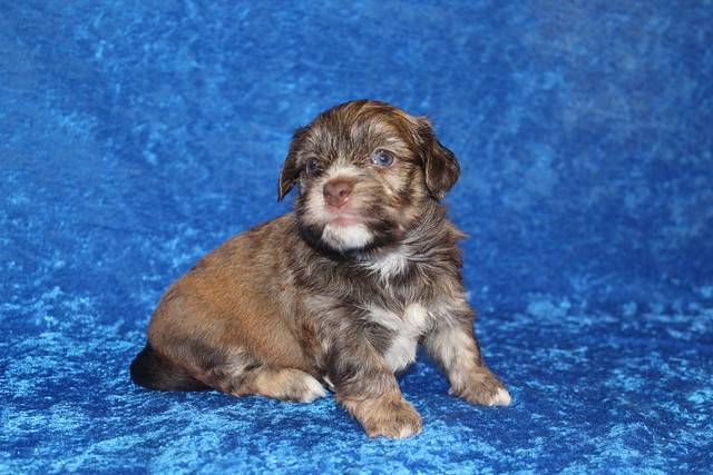 1 Reed Male CKC Havanese 2lbs 4oz 3W5D old (62)